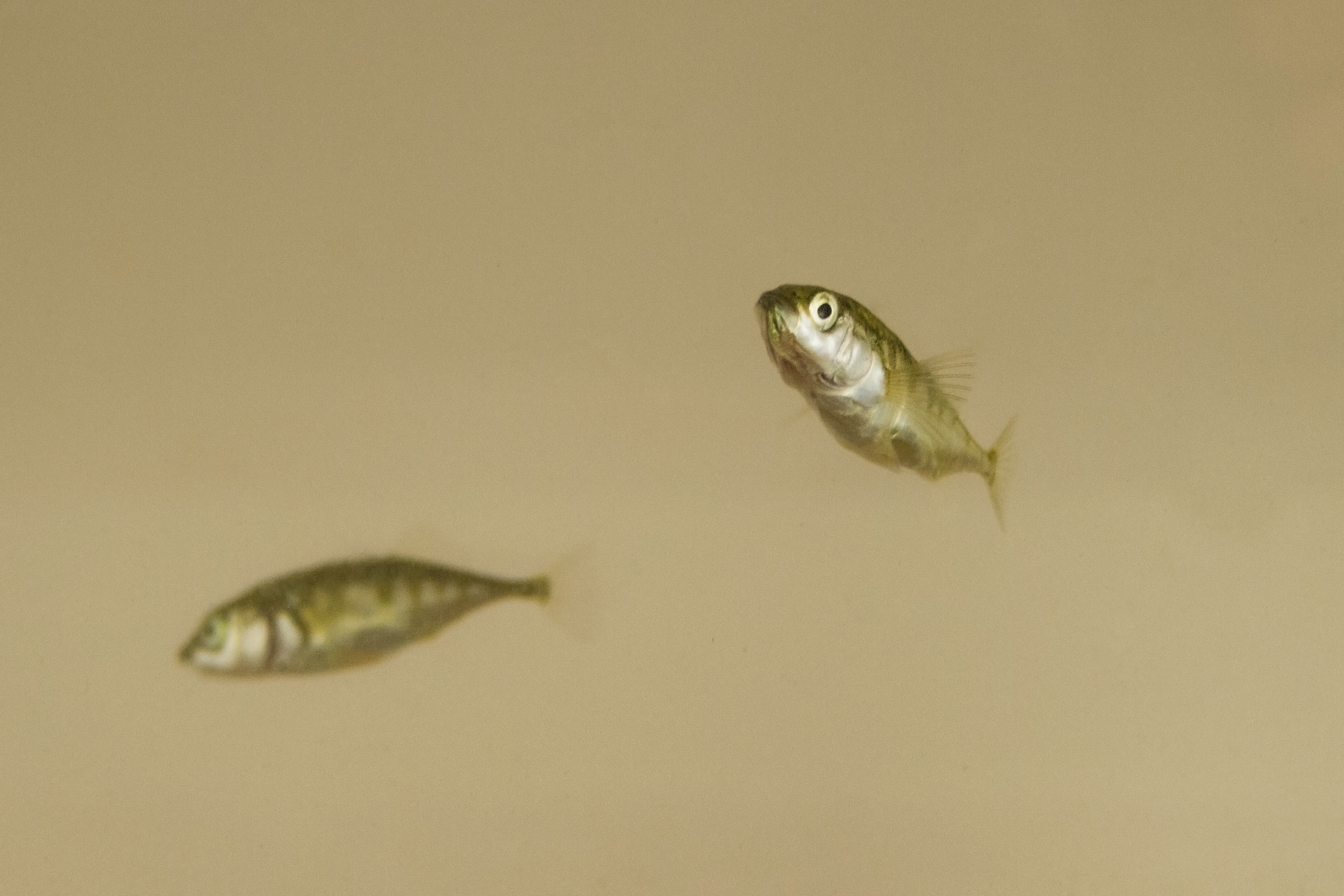 Two sticklebacks with different characteristics. Photo copyright: Jolle Jolles