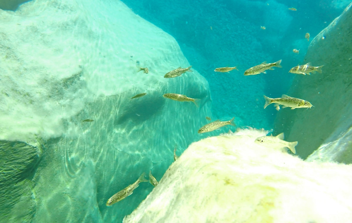 A shoal of Mediterranean barbel foraging on limestone rocks.