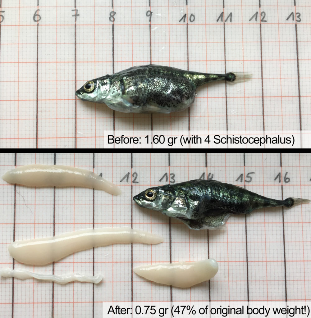 Three-spined stickleback before and after removing four Schistocephalus worms
