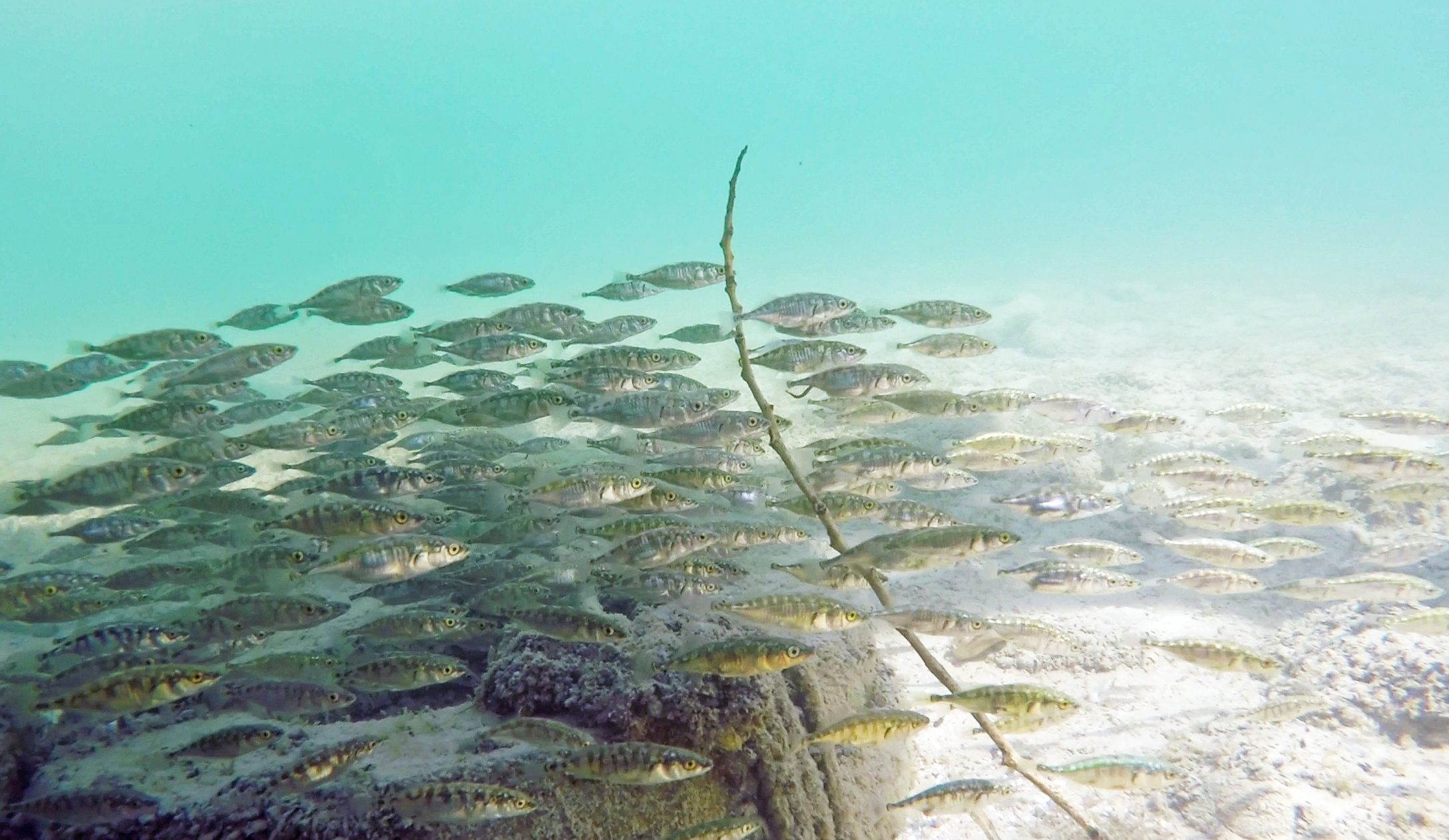 Highly coordinated school of three-spined sticklebacks swimming in the blue waters of the Bodensee near Konstanz, Southern Germany. Photo: Jolle W. Jolles